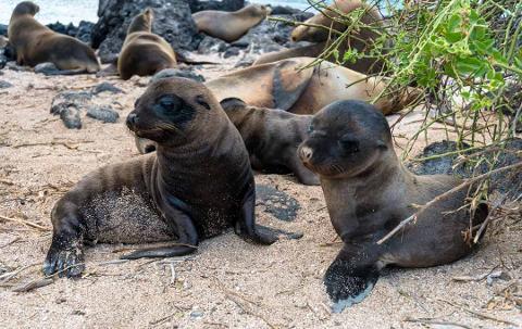 Isla_Lobos_Sea_Lions_Galapagos