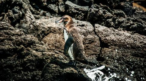 bartolome_penguin_on_rocks2880