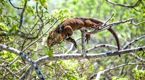 north_seymore_island_land_iguana_in_tree2880