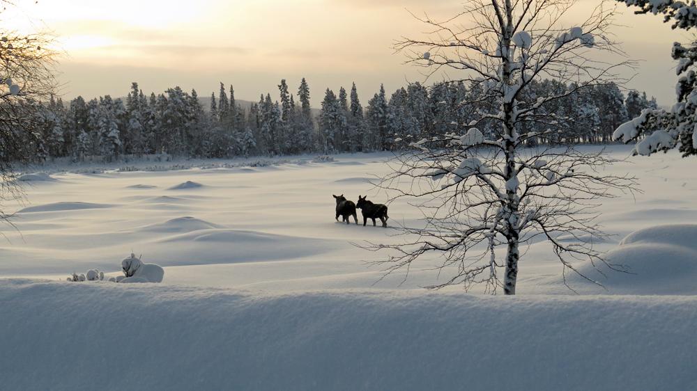 Seaching for the Sarek moose JWM