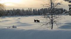 Searching for the Sarek moose JWM
