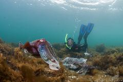 CuttleFest! VIP Cuttlefish Snorkel Tour (up to 4 people)