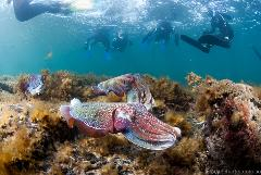 CuttleFest - Swim with GIANT Cuttlefish 4, 5, 7, 8, 10 & 11 July 2021