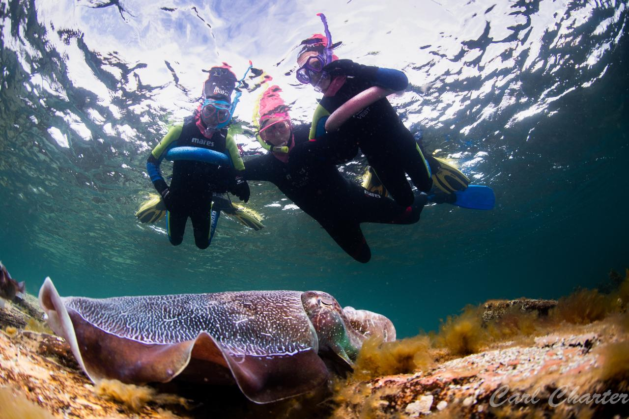 CuttleFest - Swim with GIANT Cuttlefish 26 & 27 June, 3, 4, 6, 7, 8, 10 & 11 July