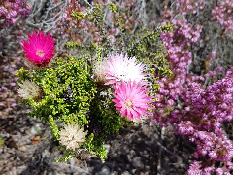 4x4_off_road_adventure_experience_fynbos_plants_pink_flower