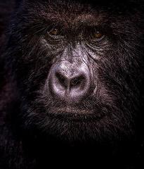 8 Days Uganda Gorillas and Chimpanzee Safari