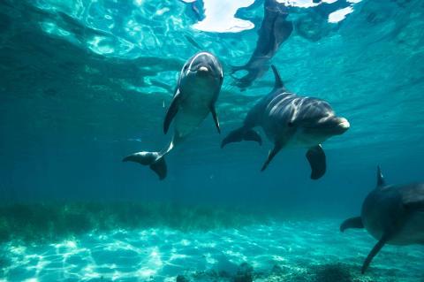 Dolphin_Swim1