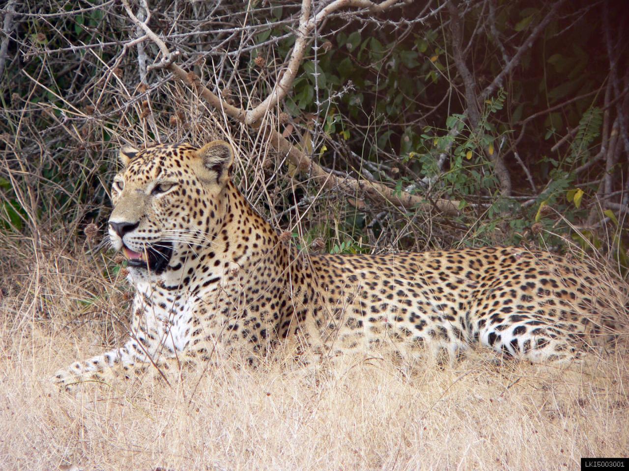 Yala Leopard Safari