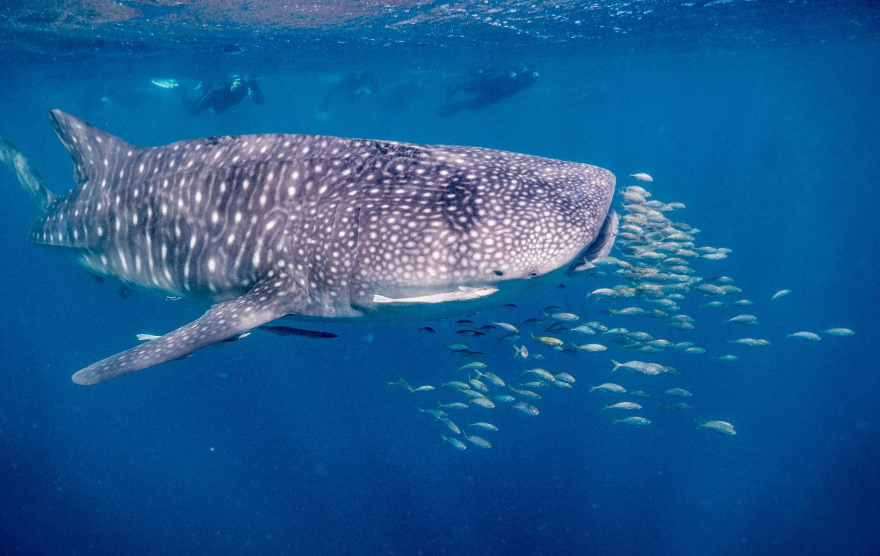 Whaleshark (then Whale!) Wonder Tour (for tour dates 1st August - 30 September)