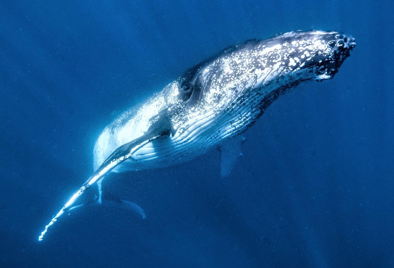 Humpback Whale (Then Whaleshark!) Swim Watch and Wonder Tour
