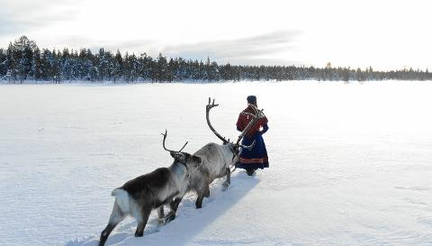 WALK WITH A TAME REINDEER DURING NORTHERN LIGHTS