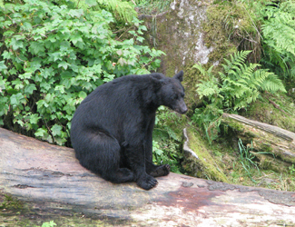 Prince of Wales Island Bear Viewing Tour