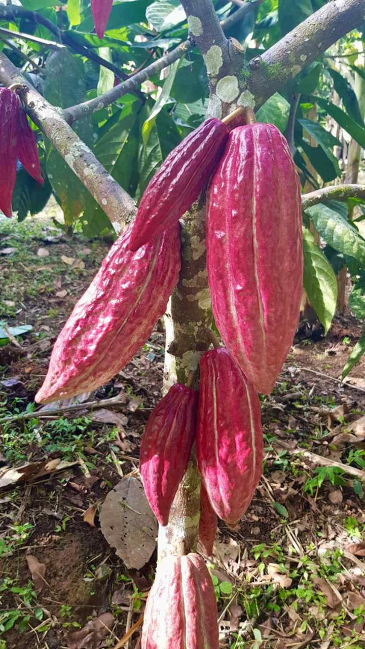 Salento to Viterbo for a Coffee, Cacao, and Panela Full Day Tour