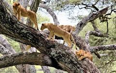 5 Days /4 nights Tanzania Classic Safaris To Lake Manyara,Ngorongoro Crater And Serengeti National Parks