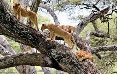 5 Days /4nights Tanzania Classic Safaris To Lake Manyara,Ngorongoro Crater And Serengeti National Parks
