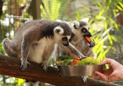 Ring-Tailed Lemur Encounter