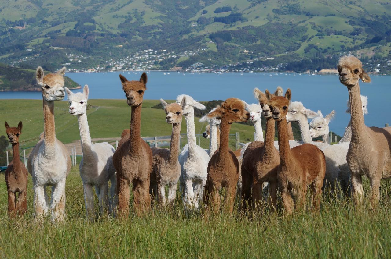 Alpaca Farm Tour - Pickup