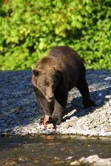 Alaska Coastal Brown Bear Quest