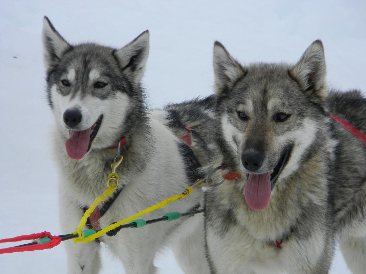 Anchorage Dog Sled Tour - Self Driving