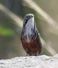White-throated Grasswren Expedition - May 23-27, 2017