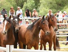 St James Wild Horse Sale