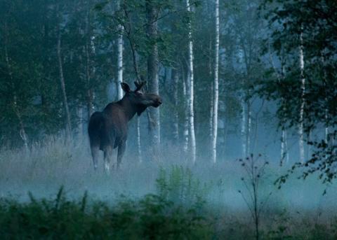 Moose Safari in Skinnskatteberg