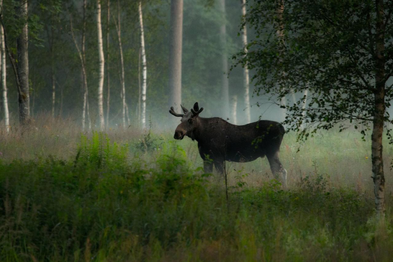 moose plural