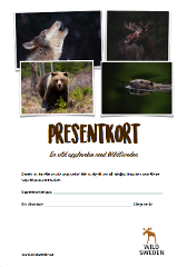 Presentkort Björnskådning från gömsle nära Sandviken