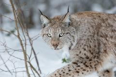 Lynx expedition in wild Lapland