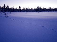 Track Wolves, Lynx and other wildlife