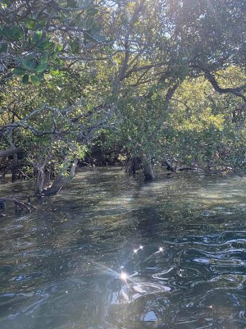 Mangrove_6