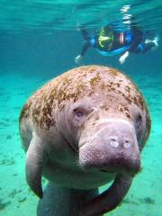 Swim with Manatee Tour - Endangered Encounter (3 hr) - Crystal River