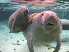 Gift Certificate Swim with the Manatee Tour - Endangered Encounter