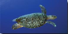 Wildcat Turtle Feed