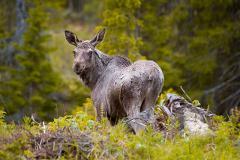 Moose Safari in Åre