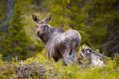 Moose Safari in Åre