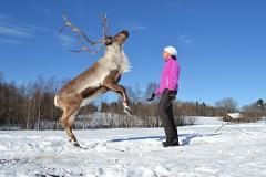 Exclusive Reindeer Experience