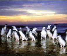 Penguin Parade Express Tours