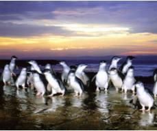 Penguin Parade Express Tours