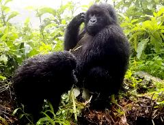 Mountain Gorilla Spectacular