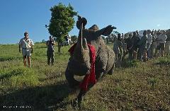 Exclusive Rhino Capture Adventure Safari