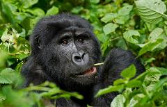 Gorilla Sanctuary Exploration (UGANDA)