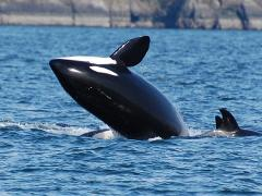 2018 Whale Watching - DEER HARBOR ( April - October)