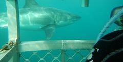 Shark Cage Dive Adult - Experienced Diver