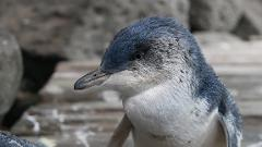 St. Kilda Penguin Tour