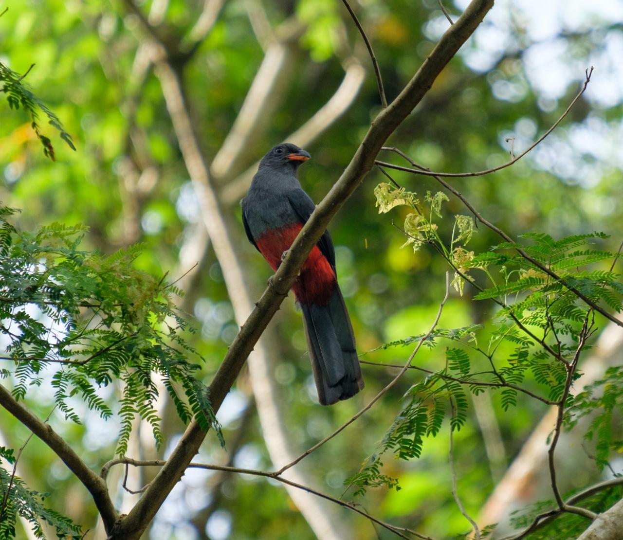 BIRD WATCHING AT BOCAWINA RAINFOREST NATIONAL PARK - 2HRS