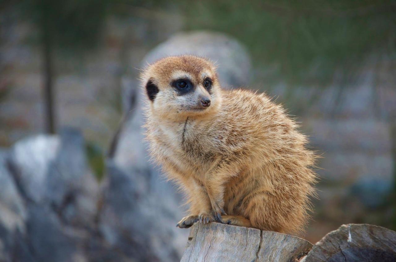 Meerkat Encounter