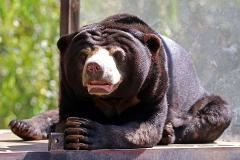 Sun Bear Encounter