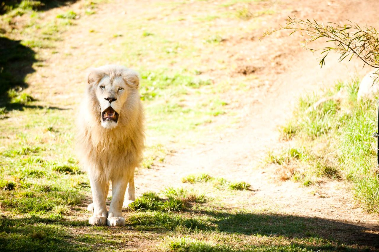 White Lion Encounter
