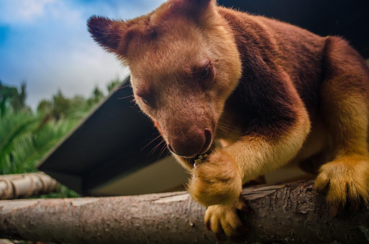 Tree Kangaroo Encounter